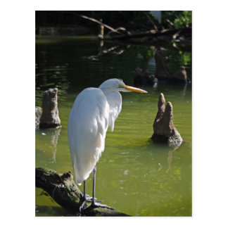 Great Egret Postcard