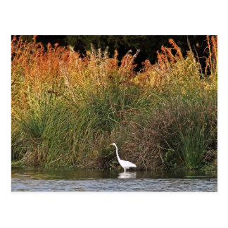 Great Egret with Colorful Grasses Postcard
