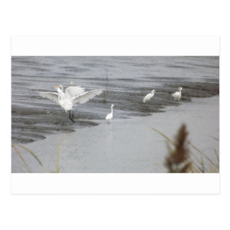 Great Egrets in a swamp Postcard
