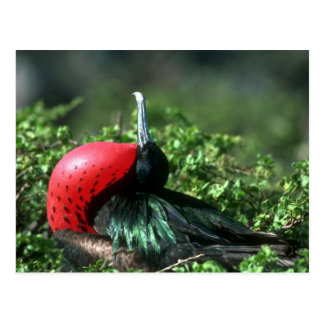 Great Frigatebird, Male Courtship With Large Gular Postcard
