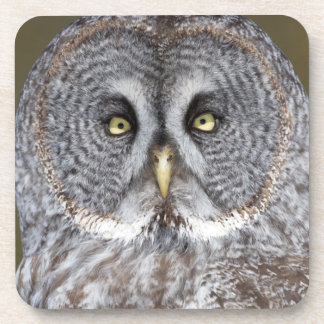 Great gray owl close-up, Canada Coaster