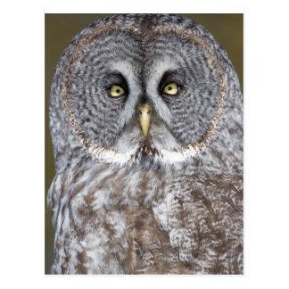 Great gray owl close-up, Canada Postcard