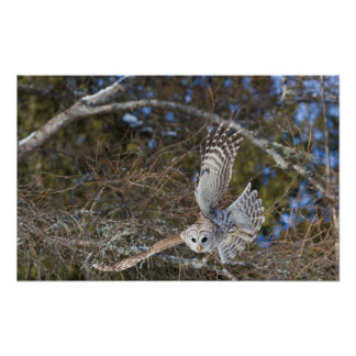 Great Gray Owl Flying Poster