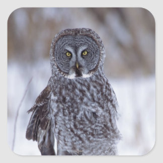 Great Gray Owl near Pine City MN, Square Sticker