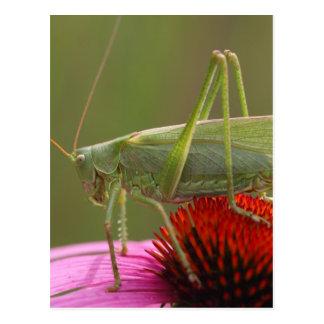 Great Green Bush-Cricket  (Tettigonia viridissima) Postcard
