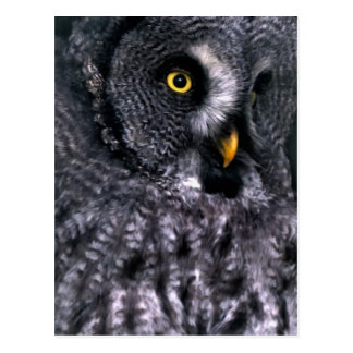 Great Grey Owl Postcards