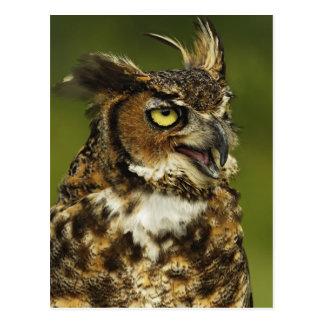 Great Horned Owl, Bubo virginianus, Captive 2 Postcard