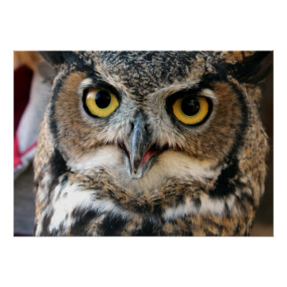 Great Horned Owl (Bubo virginianus) Poster