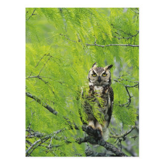 Great Horned Owl, Bubo virginianus , young in Postcard