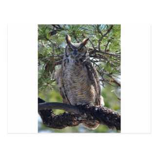 Great Horned Owl in the Tree Postcard