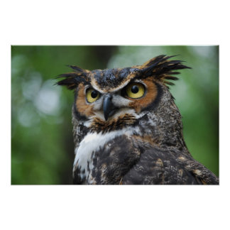 Great-Horned Owl Posters
