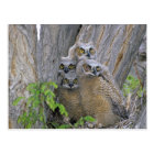 Great Horned Owlets (Bubo virginianus) nest in a Postcard