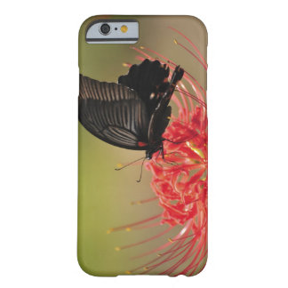 Great Mormon (Papilio memnon) on flower, Chiba Barely There iPhone 6 Case