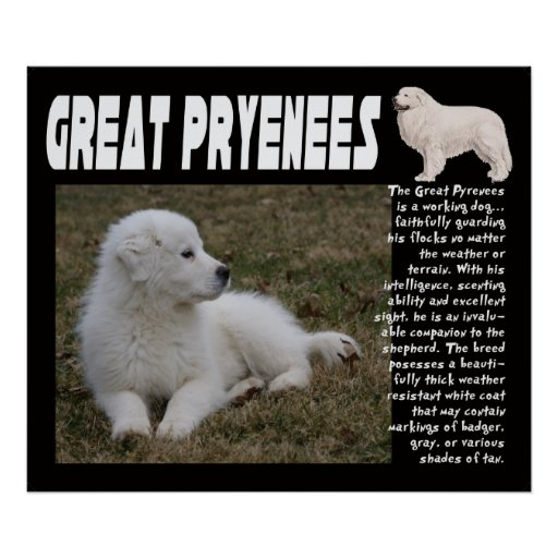 GREAT PYRENEES BREED CHARACTERISTICS POSTER