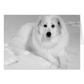 Great Pyrenees, Gentle Giant 5 Card