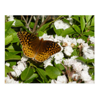 Great Spangled Fritillary on Mountain Laurel Photo Postcard