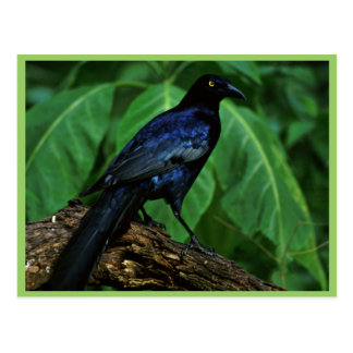 Great-tailed grackle postcard