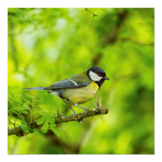 Great tit, parus major perfect poster