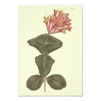 Great Trumpet Honeysuckle Botanical Illustration Card