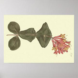 Great Trumpet Honeysuckle Botanical Illustration Poster