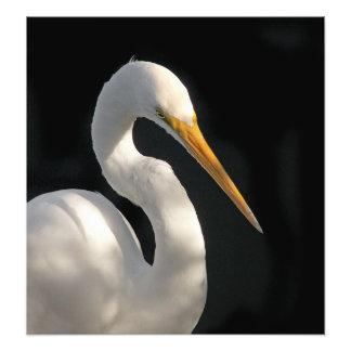 Great White Egret Portrait. Photo Print