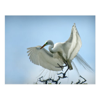 Great White Heron Photograph Post Card