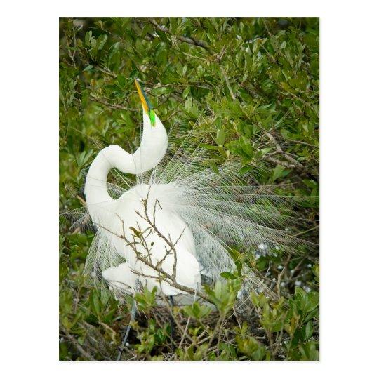 Great White Heron Pose Photograph Postcard