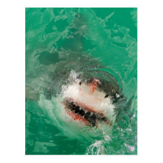 Great White Shark1 Postcard