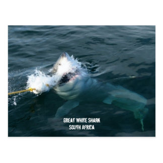 Great White Shark - South Africa Postcard