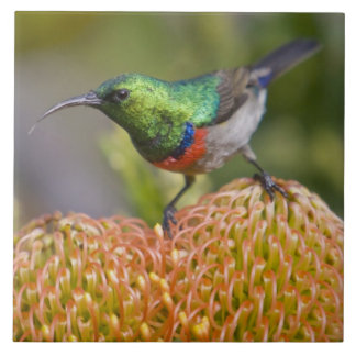 Greater Double-collared Sunbird feeds on 2 Tile