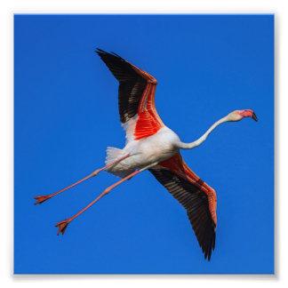 Greater flamingo, phoenicopterus roseus photo print