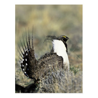 Greater sage grouse postcard