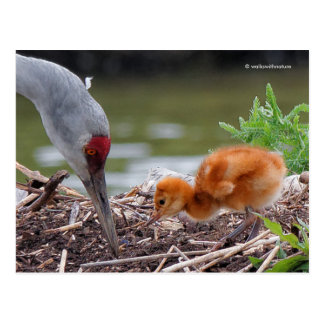 Greater Sandhill Crane Father and Child Postcard