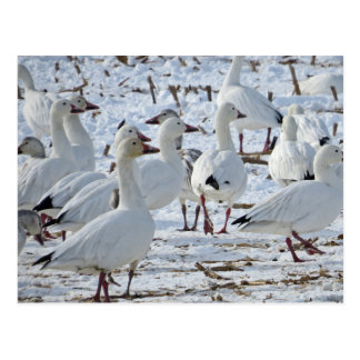 Greater Snow Geese in Cornfield (Winter) Postcard