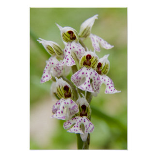Greece, Crete. Orchid in bloom Orchis Poster