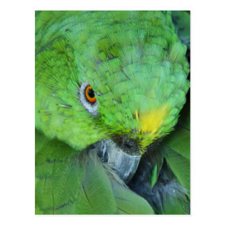 Green Amazon Parrot Postcard