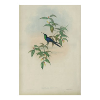 Green and Blue Gould Hummingbird Poster