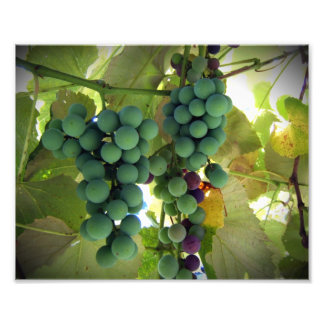Green and Purple Grapes on the Vine Vineyard Print