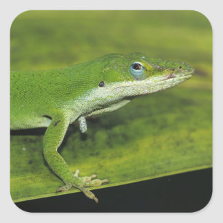 Green Anole, Anolis carolinensis, adult on palm Square Sticker