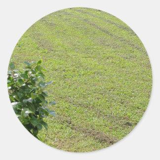Green Camellia plant Classic Round Sticker