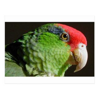 Green Cheeked Parrot Postcard