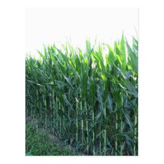 Green corn field on summer day postcard