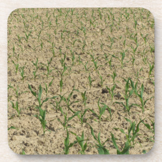 Green corn maize field in early stage coaster