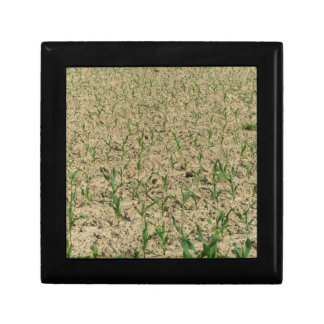 Green corn maize field in early stage gift box