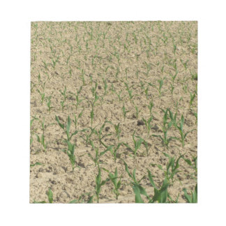 Green corn maize field in early stage notepad