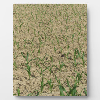 Green corn maize field in early stage plaque