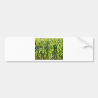 Green corn plants are growing in summer bumper sticker