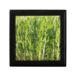 Green corn plants are growing in summer gift box