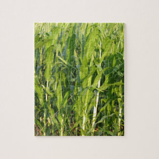 Green corn plants are growing in summer jigsaw puzzle