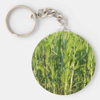 Green corn plants are growing in summer keychain